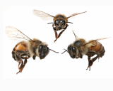 How can we help bees recover?
