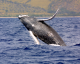 Historically, most humpback whales were killed by commercial whalers. Now, whales are more often killed by boat strikes, pollutants or after becoming entangled in fishing nets, according to the Alaska Department of Fish and Game.
