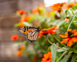 Global warming is impacting Monarch butterflies.