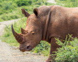 Infertility treatments may help restore endangered rhinos.