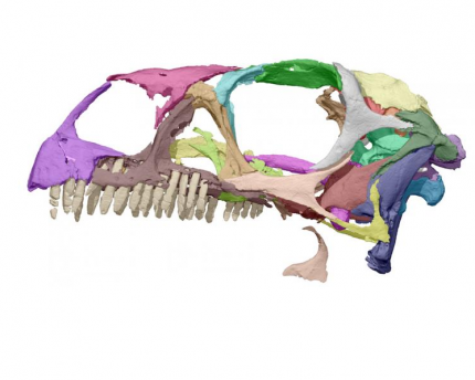 A researcher studied a printout of a dinosaur skull.