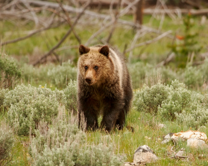 Grizzlies at Yellowstone are the focus of a dispute.