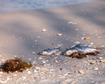 Fish impacted by red tide wash up in Florida.
