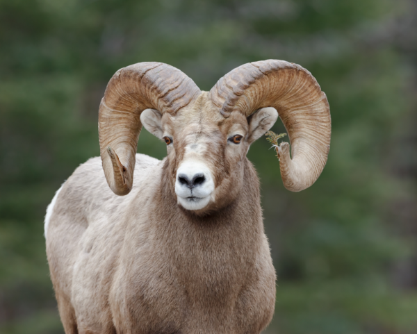 Big-horned sheep are impacted by hunting methods.