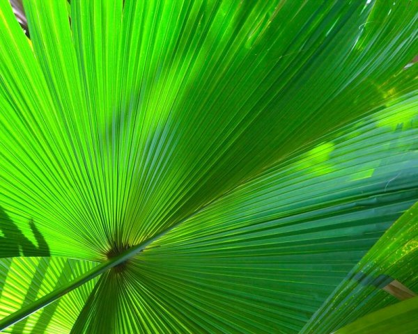 Is the fan palm a friend or foe of the environment?